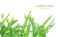 Stock Illustration of Tulip