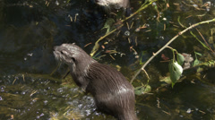Small-Clawed Asian Otters Playing and Swimming Stock Footage