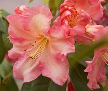 Soft Pastel Colored Rhododendron Stock Photos