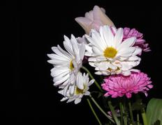 White Daisy Bouquest Black Background - stock photo