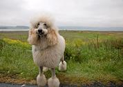 Stock Photo of Humorous Look at Standard White Poodle