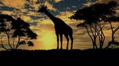 giraffe sillouette on sunset background - stock footage