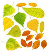 Stock Illustration of Leafs of a birch and barberry
