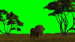 Lion on green screen Stock Footage