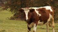Stock Video Footage of Cow on pasture in Tatras mountains - Poland