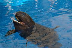 False Killer Whale Stock Photos
