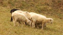 A flock of sheep in Tatras mountains - Poland Stock Footage