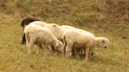 Stock Video Footage of A flock of sheep in Tatras mountains - Poland