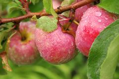 Crop of apples - stock photo