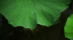 Falling rain drop on the lotus leaf Stock Footage