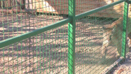 Stock Video Footage of A cougar in a cage