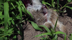 Flies on dead rabbit carcase, wounds, killed animal on a field, close up Stock Footage