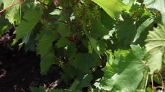 Beautiful vineyard in the summer day, vines, young grapes bunches, unripe fruits Stock Footage