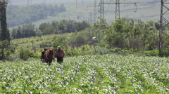 Two farmers with a horse plowing the corn field, traditional agriculture Stock Footage
