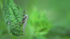 Psocoptera Copeognatha fly insect macro leaf green 4k Stock Footage