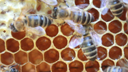 Stock Video Footage of bees inside hive