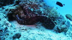 Reef octopus - stock footage