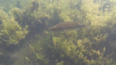 P03496 Largemouth Bass Underwater in Freshwater Lake Stock Footage