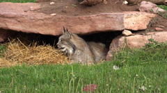 P03665 Canada Lynx Wildcat Under a Rock Stock Footage
