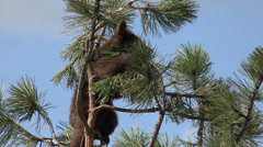 P03653 Black Bear Cub at Top of Tall Tree Stock Footage