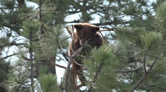 P03660 Brownish Phase Black Bear Cub in Tree Stock Footage