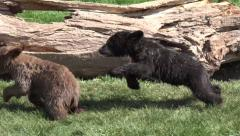P03651 Black Bear Cubs Playing and Chasing in 4K Stock Footage