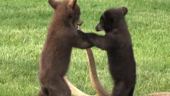 P03657 Black Bear Cubs Standing Playing Wrestling and Fighting Stock Footage