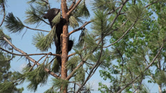 P03652 Black Bear Cubs in top of Ponderosa Pine Tree Stock Footage