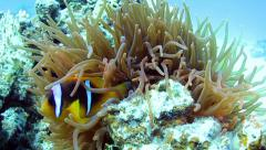 Clownfishes Stock Footage