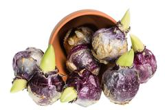 hyacinth bulbs spilling from a pot - stock photo