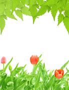 Stock Illustration of Green leaves and buds of tulips