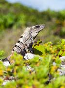 Portrait Of A Large Iguana Stock Photos
