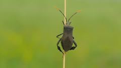 Leaf-footed Bug (Acanthocephala terminalis) 7 Stock Footage