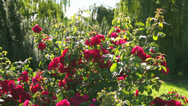 Stock Video Footage of Red beautiful rose in the garden.