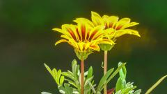 Time Lapse of a Flower Blooming - stock footage