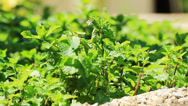 Stock Video Footage of pick fresh kitchen mint leaves from the tree