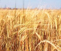 Crop of rye Stock Photos