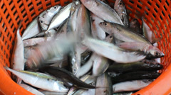Smooth tailed trevally at Phuket fish market - stock footage
