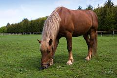 Horse in the meadow in the paddock Stock Photos