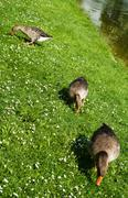 guzzling geese - stock photo