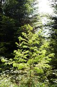 Young conifer Stock Photos