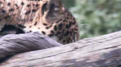 Jaguar aka Panther a Spotted Jungle Cat - stock footage