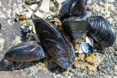 mussels attached to rocks at the ocean - stock photo