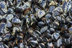 group of mussels clinging to rocks - stock photo