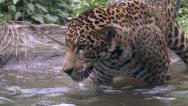 Stock Video Footage of Jaguar, Panther, Cat, Carnivore, Jungle, Waterfall, 4K, UHD