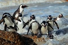 African penguins in shallow water - stock photo