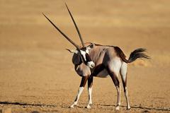 Gemsbok antelope, Kalahari desert - stock photo