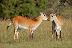 Two young male red lechwe antelopes Stock Photos