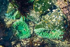 Sea anemones attached to rocks in a tidal pool Stock Photos