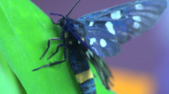 Butterfly Aellopos titan macro 4k Stock Footage